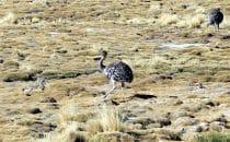 Nandus, Sur Lípez, Bolivien © Bertram Roth