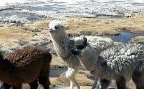 Alpakas an einer Lagune, Altiplano, Bolivien
