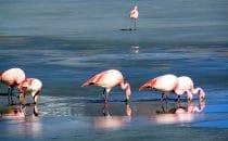 Flamingos, Laguna Hedionda, Altiplano, Bolivien