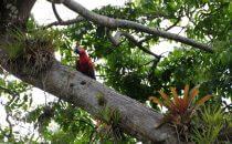 Scarlet Macaw, Boca Tapada © Maquenque Lodge