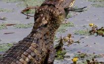 Krokodil, Boca Tapada © Maquenque Lodge