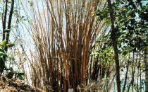 Cabo Blanco, Bambus