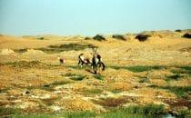 Oryxantilopen am Uniab Delta, Namibia