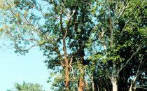 Ceiba Baum Xunantunich, Belize