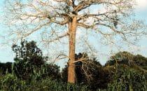 Ceiba Baum in San Ignacio, Belize