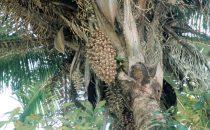 Cohune Palme (wilde Ölpalme), Belize