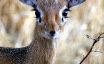 Dik Dik © Waterberg Wilderness