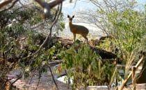 Klippspringer zu Besuch, Waterberg Plateau Lodge