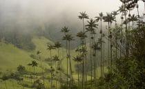 Quindio-Wachspalme