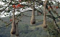 Nester von Webervögeln in Coroico, Bolivien © Bertram Roth