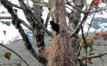 Webervogel im Nest, Coroico, Bolivien © Bertram Roth