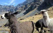 Lamas am Condoriri-Trek, Bolivien © Bertram Roth