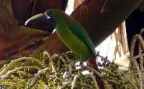 Blaukehlarassari im Amistad Nationalpark, Panama