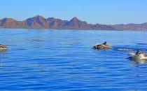 Delphine in der Bahía de Loreto © Kirt Edblom