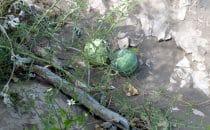"""wilde Melonen im """"Cañon la Trinidad"""", Baja California, Mexiko"""