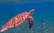 Schildkröte, Belize