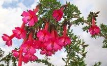 "Die im Land als ""La Flor sagrada de los Incas"" bekannte Cantua buxifolia ist Perus Nationalblume."