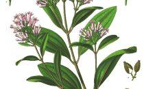 Chinarindenbaum, Nationalbaum Peru