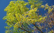 Zedrachbaum (Melia azedarach), auch Persischer Flieder, Chinesischer Holunder oder Paternosterbaum genannt