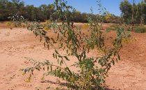 Blaugrüner Tabak (Nicotiana glauca), auch Strauchtabak oder Baumtabak genannt