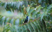 hummingbird near Cerro Punta, Panama