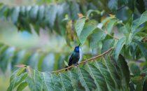 Kolibri bei Cerro Punta, Panama