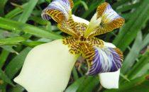 Orchidee im botanischen Garten Lankaster, Costa Rica
