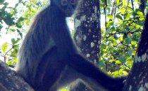 Geoffroy Klammeraffe, Lamanai, Belize