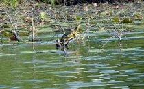 Schildkröte auf dem New River, Belize