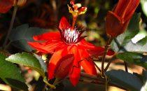 Monteverde Schutzgebiet, Blüte, Puntarenas, Costa Rica
