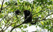 Monteverde Schutzgebiet, Brüllaffen, Puntarenas, Costa Rica