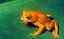 Monteverde Schutzgebiet, Goldkröte (ausgestorben)