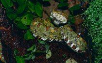 Viper im Santa Elena Schutzgebiet