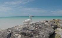 Isla Holbox – Reiher, Yucatán, Mexiko