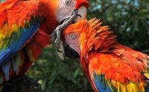 hellrote Aras, Anavilhanas Nationalpark, Amazonas, Brasilien