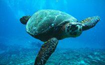 Schildkröte - Fernando de Noronha, Brasilien