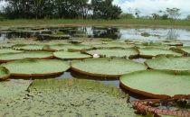 Amazonas-Riesenseerosen am gegenüberliegenden Ufer von Manaus, Brasilien