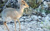 Dik Dik, Etosha Nationalpark, Namibia