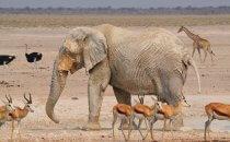 Elephant, Etosha Nationalpark, Namibia