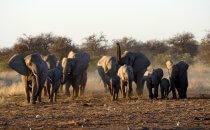 Elephanten, Etosha Nationalpark, Namibia