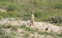 Erdmännchen, Etosha Nationalpark, Namibia