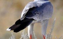 Falke, Etosha Nationalpark, Namibia