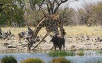 Giraffe & Kudu, Etosha Nationalpark, Namibia