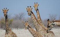 Giraffen, Etosha Nationalpark, Namibia