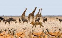 Löwe, Etosha Nationalpark, Namibia