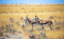 Springbock, Etosha Nationalpark, Namibia