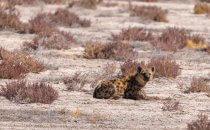 Tüpfelhyäne, Etosha Nationalpark, Namibia