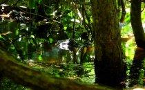 Kaiman im Manuel Antonio Nationalpark, Costa Rica