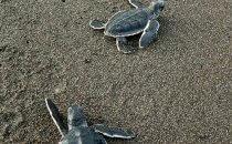 frisch geschlüpfte Suppenschildkröten, Tortuguero Nationalpark, Costa Rica