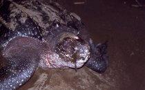 Lederschildkröte, Tortuguero Nationalpark, Costa Rica